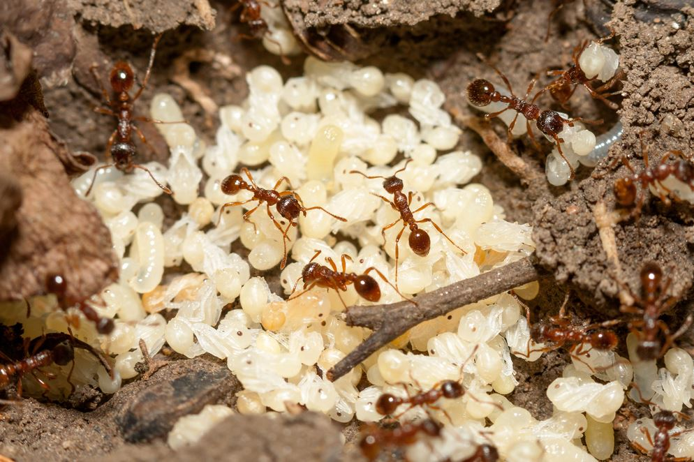 Natural Ant Repellent - How to Get Rid of Ants - Pest ...