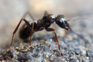 odorous-house-ants