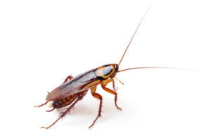 adult-stage-cockroach