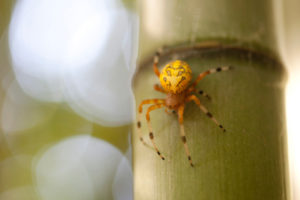 bamboo-spider
