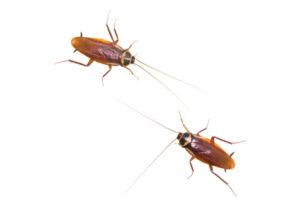 roach-vs-cockroach