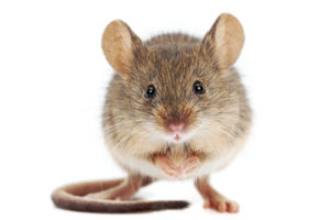 understanding-mice