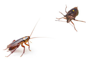 water-bug-vs-cockroach