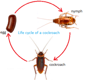 stages in the life cycle of a cockroach