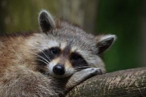 do-raccoons-eat-rabbits