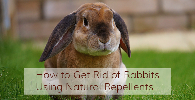 Homemade deer rabbit repellent recipe homemade ftempo - How to keep deer out of garden home remedies ...