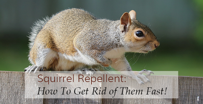 Squirrel Repellents How To Get Rid Of These Busy Tailed