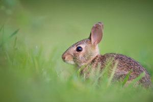 the-common-rabbit