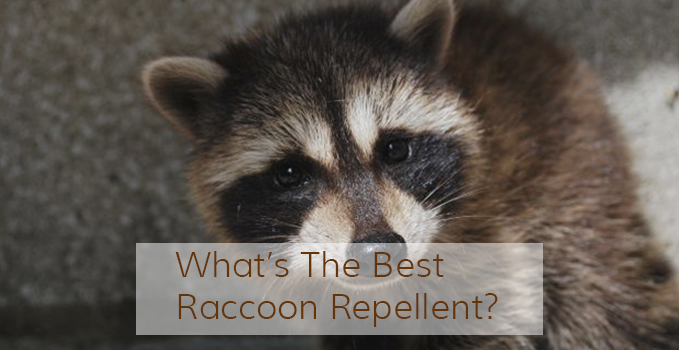What S The Best Raccoon Repellent Pest Repeller Center