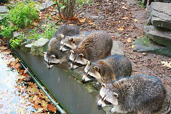 What S The Best Raccoon Repellent Pest Repeller Center